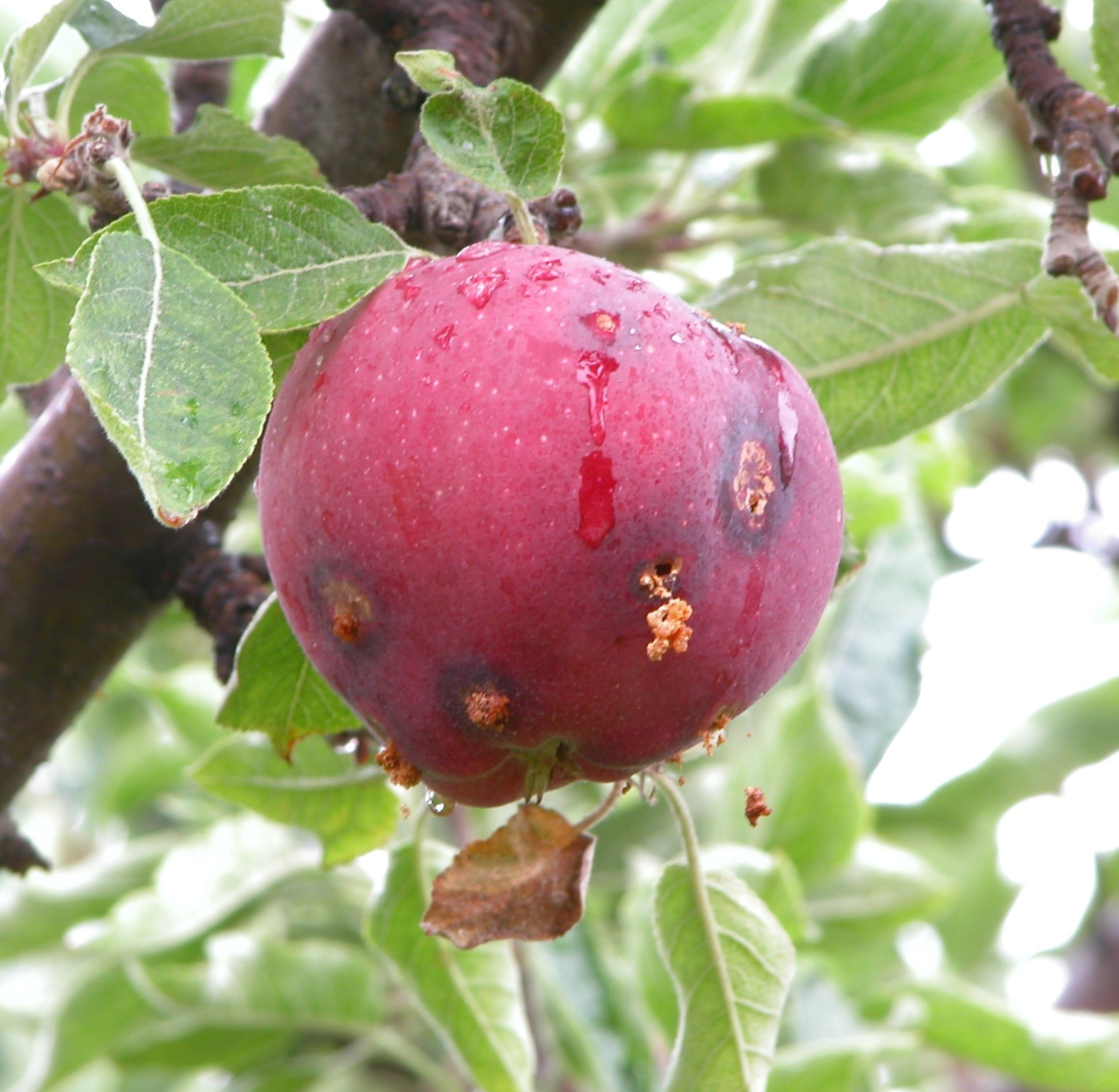 What are some good apple tree sprays to prevent bug infestations?