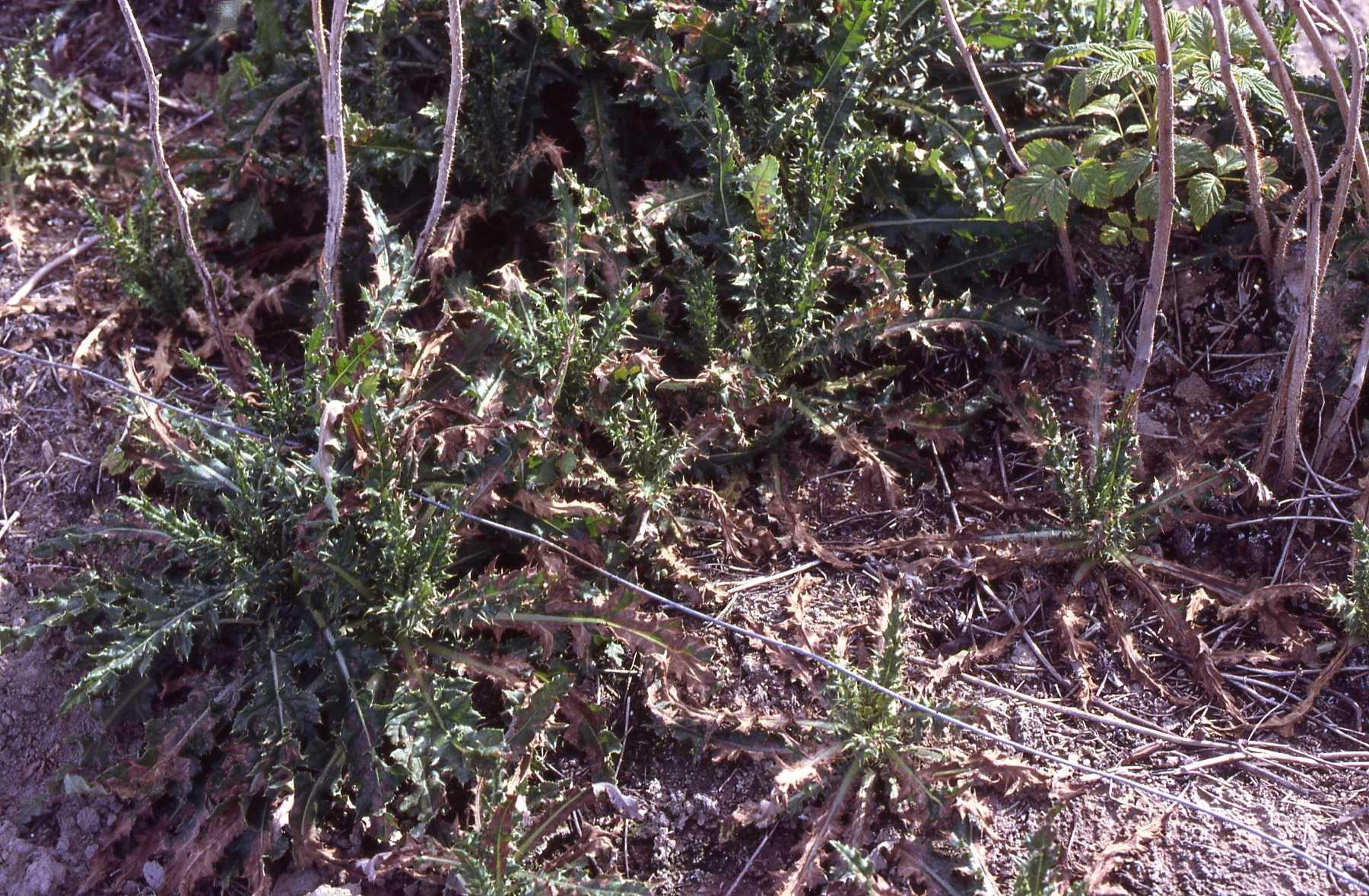 Acetic tree: description, care, planting 28