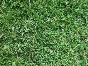 Buffalo_grass_texture