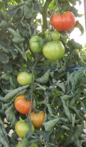cover tomato photo