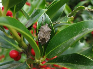 Brown mamorated stink bug on holly (Todd Murray)