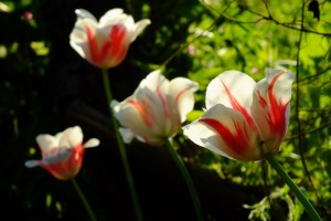 tulip_white_red_wikimedia